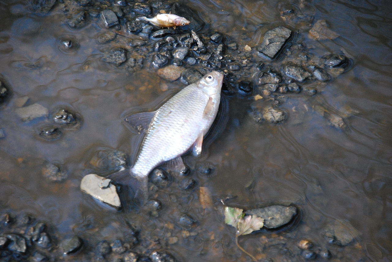 An image of a dead fish caught up in a farming pollution incident